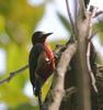Puerto Rico Woodpecker